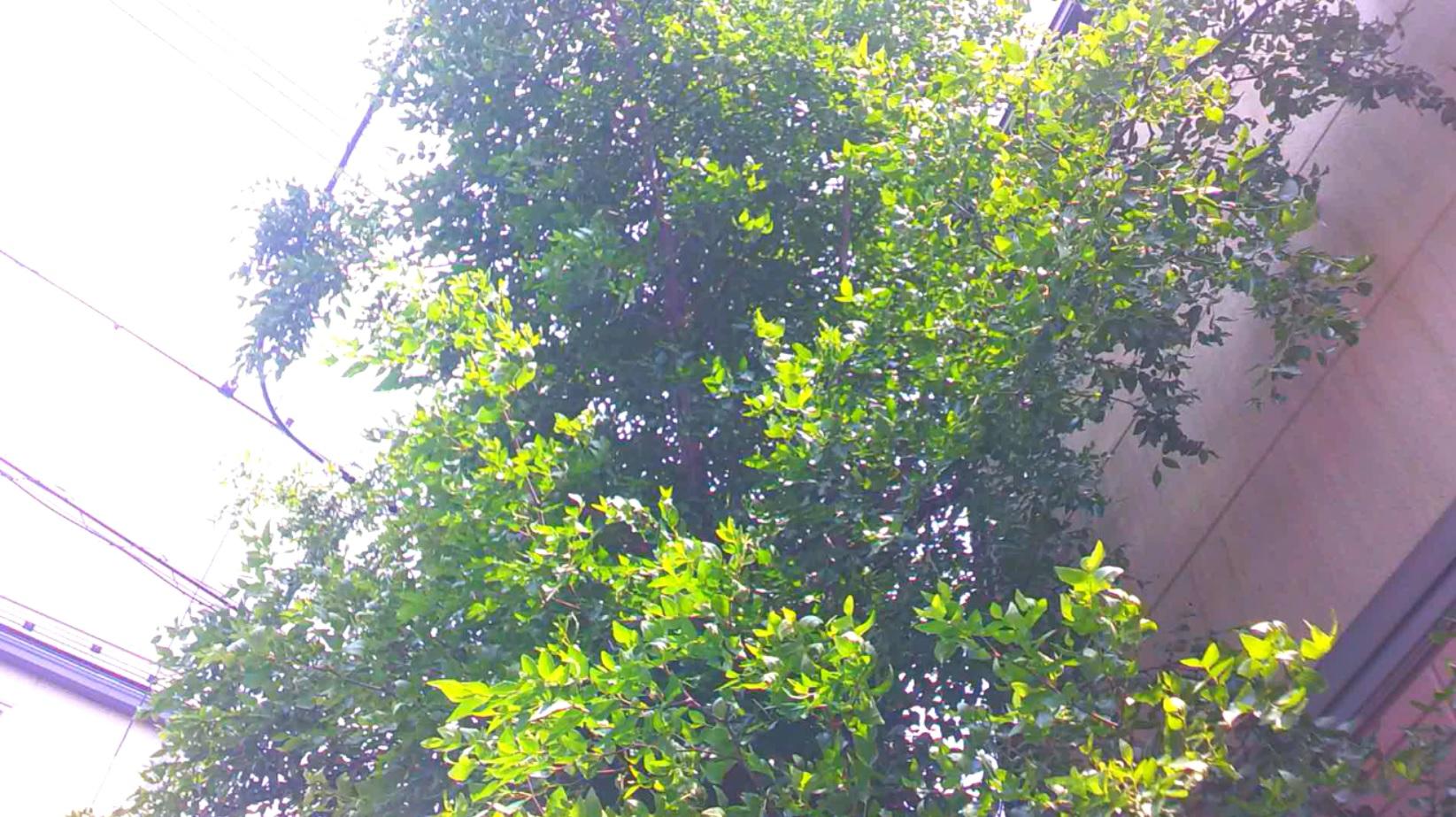 【庭木伐採 さいたま市】電線にかかった庭木の伐採の作業前写真
