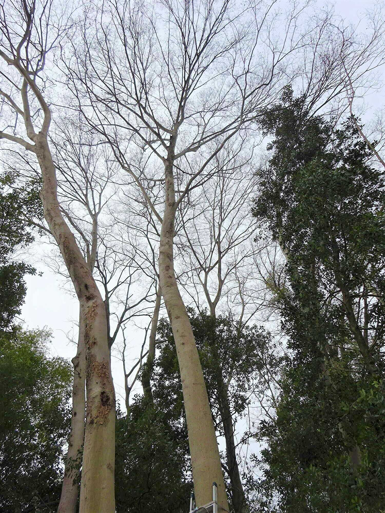【庭木伐採 川口市】20m越えの樹木の伐採(強剪定)作業前写真